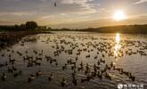 安徽庐江:秋日水乡鸭欢歌