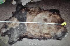 云南大熊猫遭猎杀