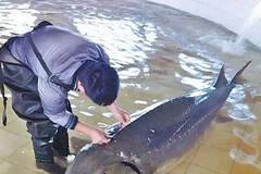 渔民抓到一条50多岁、700斤重、怀孕的鱼