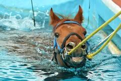在泳池中康复训练的赛马
