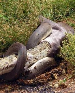 巨蟒生吞鱷魚 吞完還對鏡頭頑皮一笑圖片