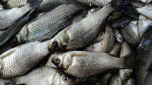 愛吃鯽魚的一定要收藏,教你鯽魚的5種家常菜做法,好吃極了