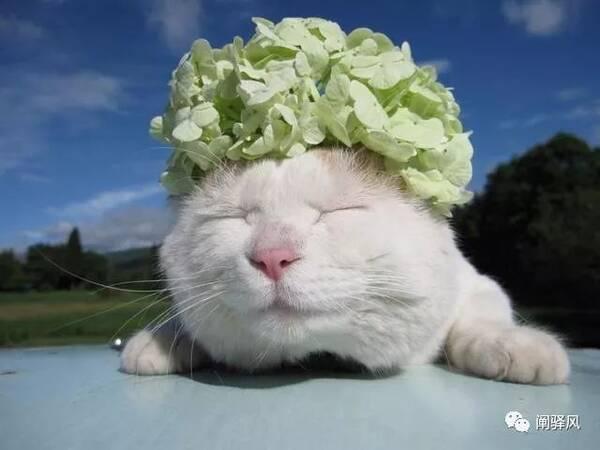 日本田园猫_日本田园猫,日本超级明星猫,真名叫大白,头出奇大,身体浑圆,喜欢眯眼