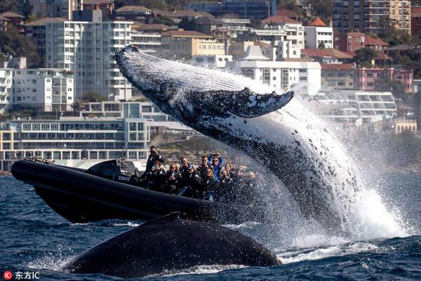 澳大利亚座头鲸爱表演 出水炫技惊呆了一船游客