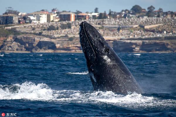 澳大利亚座头鲸爱表演 出水炫技惊呆了一船游客【2】