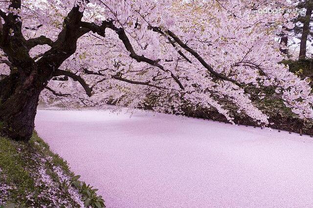 日本樱花_日本青森县弘前市铺满樱花的河.图片来源:高品图像