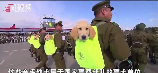 智利警察身背警犬阅兵游行成功吸睛 网友:用来萌翻敌人?