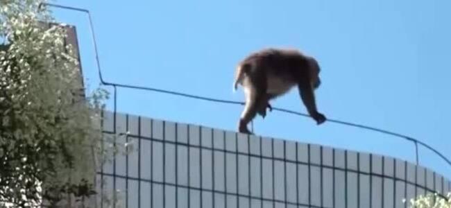 """顽皮猕猴考场捣乱 几番抓捕失败后将它""""请走"""""""