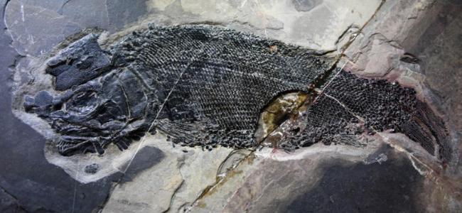 """最新发现:2.44亿年前的食肉动物——""""云南暴鱼"""""""