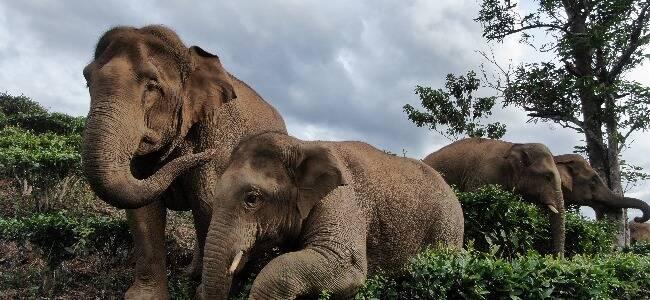 云南野象保护者为救同伴牺牲 多年后女儿仍不断发语音想念